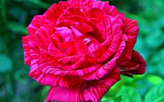 Роза ред интуишн описание