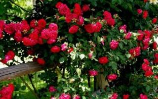 Уход за плетистыми розами осенью