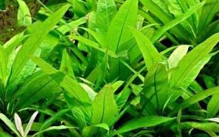 Аквариумные растения лимонник условия содержания