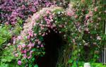 Лианы многолетние для сада фото названия