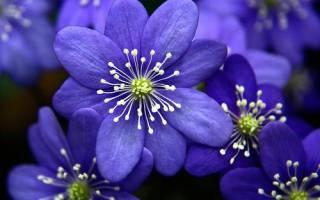 Как называются синие цветы