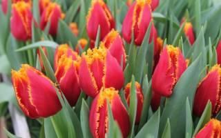 Когда лучше сажать тюльпаны осенью или весной