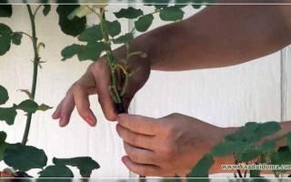 Штамбовые розы уход прививка выращивание