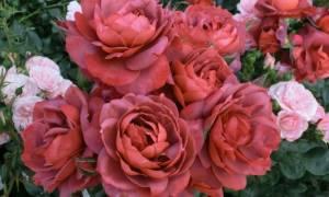 Розы шоколадного оттенка