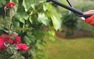 Подготовка к опрыскиванию розы