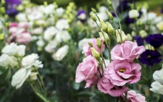 Выращивание эустомы сложно