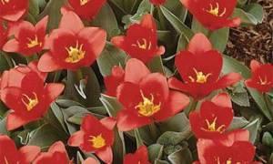 Тюльпаны грейга общее описание сортов