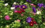Астры в саду фото