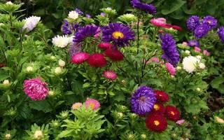 Астра цветы сорта фото