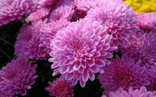 Бордюрные хризантемы зимовка