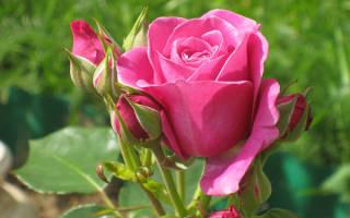 Розы с запахом сорта