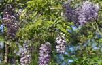 Глициния посадка и уход в открытом грунте