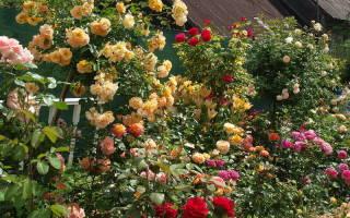 Разбивка розария, план и схема