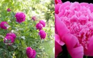Как сажают пионы осенью и весной