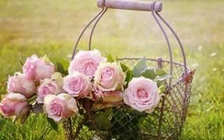Уход за розами весной на даче