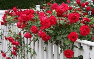 Преимущества выращивания роз из семян