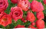 Покупка черенков розы