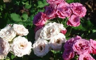 Розы чайно гибридные сорта, фото и описание