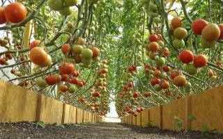 Высокорослые томаты для теплицы