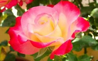 Чем отличаются розы флорибунда от чайно гибридных