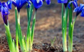 Выращиваем чудесные ирисы в своем саду