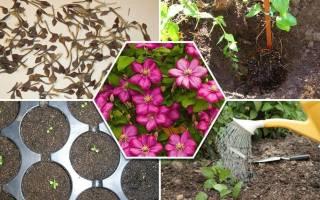 Как посадить клематис семенами