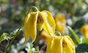 Клематис желтый фото