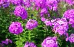 Флокс Выращивание и уход в течение всей вегетации