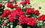 Что делать с сухими лепестками роз