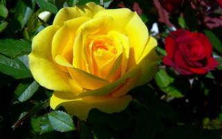 Сколько видов роз существует