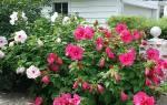 Гибискус садовый фото и описание