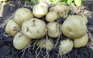 Посадка и уход за картошкой в теплице