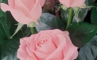 Роза чайно гибридная dark desire™ parfuma®