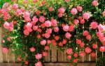 Посадка вьющейся розы осенью