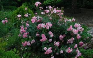 Роза прайти джой