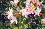 Группа чешуйчатые рододендроны