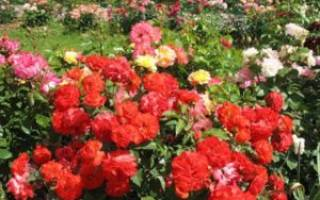 Роза флорибунда посадка и уход фото