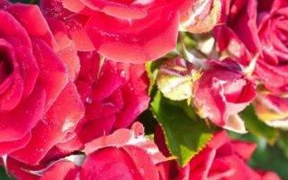 Хранение роз зимой в подвале