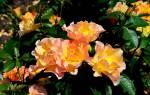Роза моден санрайз