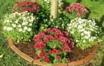 Как укрывать хризантемы на зиму