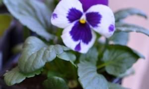 Выращивание рассады виолы