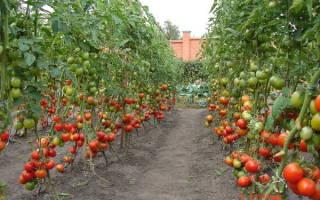 Лучшие гибриды помидоров для теплиц в беларуси