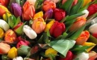 Тюльпан жизненная форма