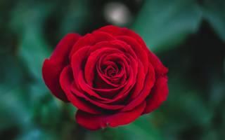 Черенкование стебля розы растущей в открытом грунте