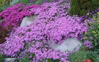 Флоксы многолетние сорта уход размножение полив