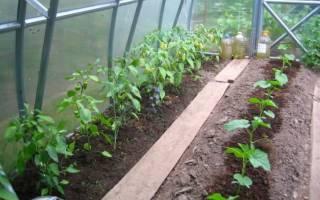 Сорта баклажан для выращивания в теплице