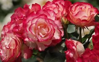 Роза принцесса монако фото и описание