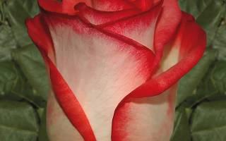 Роза моден блаш описание