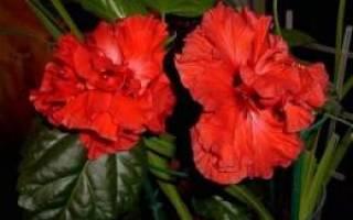 Почему перестала цвести китайская роза