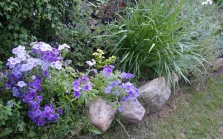 Флокс Друммонда выращивание из семян уход и сорта